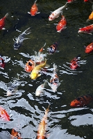 Red Koi Fishes in Pond