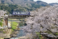鉄橋を渡るキハ120形普通気動車と桜