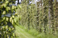 Hops before harvest.