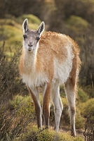 A wild guanaco (lama guanicoe) in Chile's Torres del Paine National Park. Photo by Grant Ordelheide
