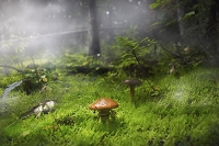 Mushroom unknown species in a pine forest on floor covered in moss. The scene is surrounded by fog. Photo by Marko Radovanovic