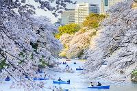 Japan, Kanto, Tokyo, Chiyoda-ku, Cherry blossom (sakura) in Chidorigafuchi Park, Photo by Maurizio Rellini/SIME