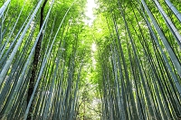 Japan, Kinki, Kansai, Kyoto, Arashiyama forest, Arashiyama bamboo forest, Photo by Maurizio Rellini/SIME