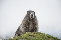 Hoary Marmot in Washington's North Cascades. Photo by Alasdair Turner