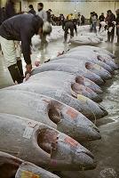 Japan, Kanto, Tokyo, Tsukuji fish market, Photo by Tim Draper/SIME