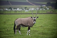 An oryx stands in the wine growing region of Stellenbosch, South Africa