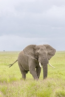 An elephant at the Serengeti Wildlife Reserve, Tanzania, Africa