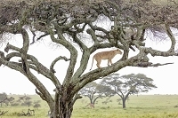 A lioness in a tree at the Serengeti Wildlife Reserve, Tanzania, Africa