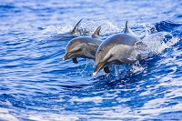 Pantropical Spotted Dolphin Mother and Calf Wake-Riding