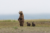 Brown bear (ursus arctos) and cubs standing in a row, Katmai National Park; Alaska, United States of America