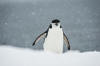 Chinstrap Penguin (Pygoscelis antarctica) in a snowfall; Half Moon Island, South Shetland Islands, Antarctica