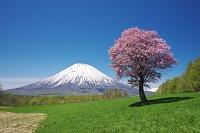 北海道 望羊の丘の一本桜と羊蹄山