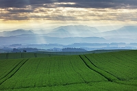 北海道 早朝の麦畑と光 美瑛町