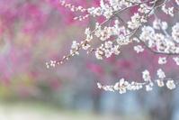長野県 紅梅をバックに咲く白梅