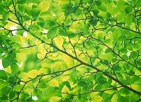 新緑 若葉