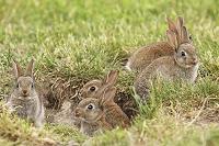オーストリア アナウサギ