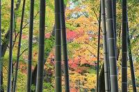 静岡県 伊豆市 修善寺 竹林と紅葉