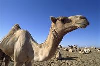 エジプト サハラ砂漠 休憩するヒトコブラクダの群れ