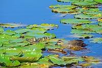 新潟県 いもり池とカモの親子