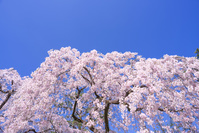 京都 京都御苑 桜