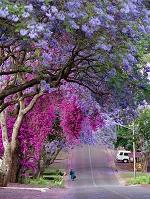 南アフリカ共和国  プレトリア ジャカランダ