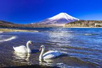 山梨県 富士山と山中湖とハクチョウ