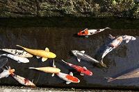 宮崎県 鯉の泳ぐ町