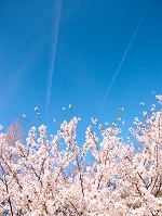 サクラと飛行機雲