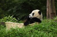かごにいるパンダ