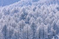 長野県 平沢峠よりカラマツの霧氷