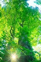 青森県 ブナ林