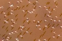 フラミンゴの群れ