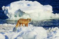 北海道 野付半島 流氷に乗るキタキツネ