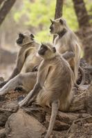 インド サル