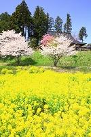 山梨県 北杜市 菜の花とサクラと安楽寺