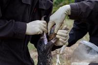 聟島 エサのイワシを与えられるアホウドリのヒナ(生後4ヶ月)