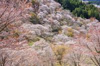 奈良県 シロヤマザクラ咲く吉野山上千本