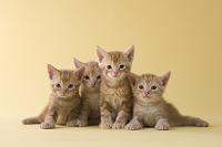 4匹のアメリカンショートヘアの子猫