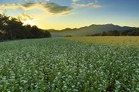 福島県 猿楽台地 そば畑