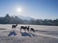 奈良県 霜の飛火野とシカ 奈良公園