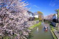 滋賀県 サクラ咲く八幡掘