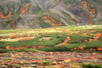 北海道 大雪山ハイマツとウラジロナナカマド斜面