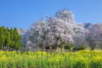熊本県 一心行の大桜 樹齢約400年・樹高14m