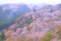 奈良県 サクラの咲く吉野山