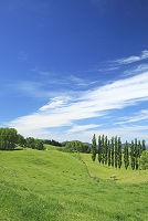 ニュージーランド 草原とポプラ並木