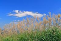 奈良県 曽爾高原のススキと雲