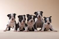 5匹のボストンテリアの子犬