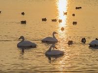 福島県 朝日に輝く猪苗代湖とハクチョウ 長浜