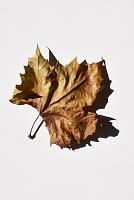 カエデの葉 光と影