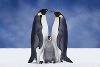 南極の皇帝ペンギン